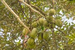 Деревья дуриана Стоковое фото RF