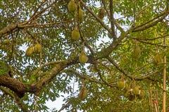 Деревья дуриана Стоковые Фотографии RF