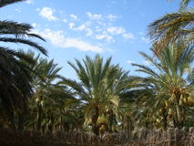 Деревья финиковой пальмы Стоковые Фото