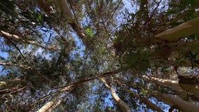 Деревья эвкалипта к взгляду неба снизу камеры вращения акции видеоматериалы