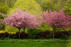 Деревья японской вишни в цветении в парке Стоковое Изображение RF