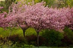 Деревья японской вишни в цветении Стоковое Изображение