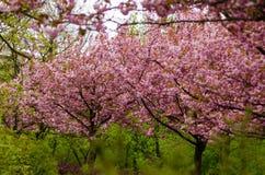 Деревья японской вишни в цветении Стоковая Фотография