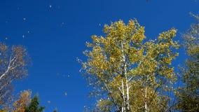 Деревья Aspen американца против голубого неба с падать листьев акции видеоматериалы