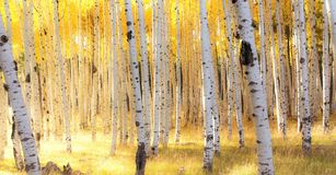 Деревья Aspen в осени освещают около Флагстафф, Аризоны Стоковая Фотография RF