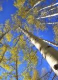 Деревья Aspen в осени Стоковые Изображения RF