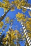 Деревья Aspen в осени Стоковое Фото