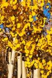 Деревья Aspen в пиковом цвете осени Стоковые Изображения