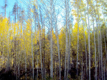 Деревья Aspen падения Стоковые Фото