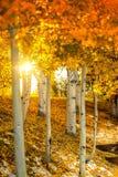Деревья Aspen при солнце shinning до конца Стоковая Фотография