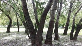 Деревья Aspen, хлопок Стоковые Изображения
