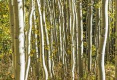 Деревья Aspen стоковые фотографии rf