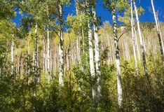 Деревья Aspen стоковые изображения