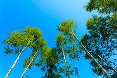 Деревья Birich против голубого неба голубое лето неба пейзажа зеленого цвета поля Стоковые Изображения RF
