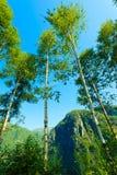 Деревья Birich против голубого неба голубое лето неба пейзажа зеленого цвета поля Стоковая Фотография RF