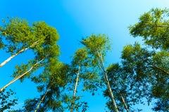Деревья Birich против голубого неба голубое лето неба пейзажа зеленого цвета поля Стоковая Фотография
