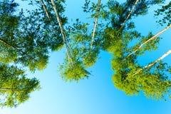 Деревья Birich против голубого неба голубое лето неба пейзажа зеленого цвета поля Стоковые Изображения