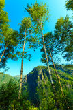 Деревья Birich против голубого неба голубое лето неба пейзажа зеленого цвета поля Стоковые Фото