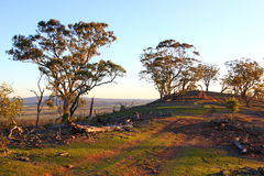 Деревья Eucaluptus в последнем вечере Солнце Стоковое фото RF
