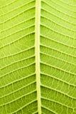Деревья Frangipani Стоковые Изображения