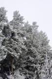 Деревья Frozeen сосны с пылью Стоковые Фото