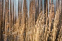 Деревья ICM-березы и золотая трава с голубым небом Стоковое фото RF