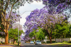 Деревья Jacaranda выравнивая улицу пригорода Йоханнесбурга Стоковые Фотографии RF