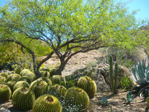Деревья Mesquite затеняют кактус бочонка от солнечности AZ Стоковое Изображение