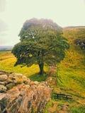 Деревья northhumbria зазора явора Стоковая Фотография
