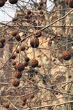 Деревья Platan в Париже. Стоковое Изображение RF