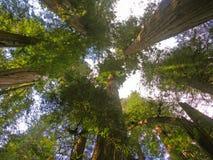 Деревья Redwood Стоковые Фото