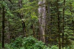 Деревья Redwood Стоковое Изображение