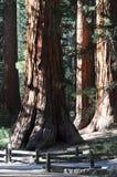 Деревья Yosemite Стоковая Фотография RF