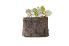 Деревянная ваза Стоковая Фотография RF