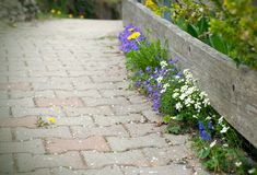 Деревянная загородка и зацветая цветки весны близко к дому Растя цветки в апреле близко к деревянной загородке стоковое изображение