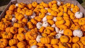 Деревянная коробка вполне меньших оранжевых и белых тыкв на рынке фермеров стоковое изображение rf