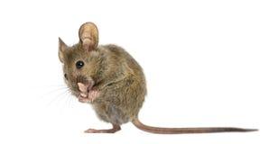 Деревянная мышь очищая свою лапку стоковая фотография rf