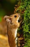 Деревянная мышь стоковое изображение rf