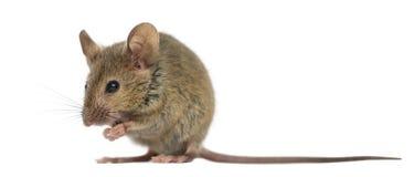 Деревянная мышь стоковые изображения rf