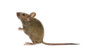 Деревянная мышь стоковое изображение
