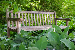 Деревянная скамья окруженная хостами Стоковая Фотография RF
