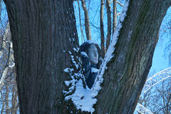 Деревянная скульптура птицы с головой ` s женщины Стоковое Фото