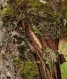Деревянная текстура с мхом Стоковое Фото