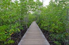 Деревянная тропа в лесе мангровы Стоковые Фотографии RF