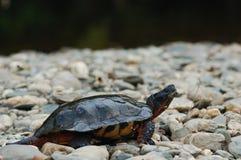 Деревянная черепаха на камнях реки Стоковое Изображение RF