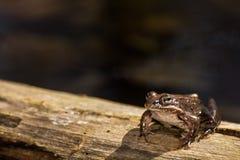Деревянная лягушка Стоковые Изображения RF