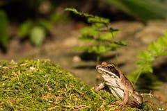 Деревянная лягушка Стоковые Фото