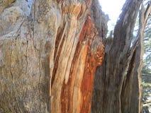 Деревянное зерно, древесина кедра, кедр Ливана стоковые фотографии rf