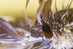 Деревянное тикание (Ixodidae) Стоковое Изображение