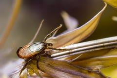Деревянное тикание (Ixodidae) Стоковая Фотография RF